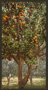 A_California_orange_tree-LCCN2008678101